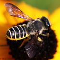 large megachilid - Megachile inimica