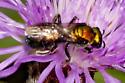 resting  flier - Augochlora pura