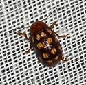 Case Bearing Beetle - Cryptocephalus guttulatus