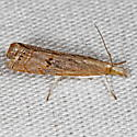 Bluegrass Webworm Moth - Parapediasia teterrella