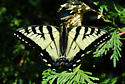 Butterfly - Canadian Tiger Swallowtail Male - Papilio canadensis - male