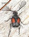 Coleoptera - Megacerus discoidus