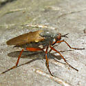 Dance Fly - Empis spectabilis - female