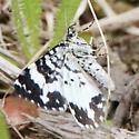 White-banded black moth? - Rheumaptera
