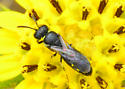 Small Bee for ID - Hylaeus
