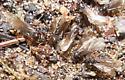 Winged Ants - Lasius umbratus