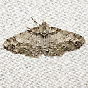 Double-lined Gray Moth - Hodges #6594 - Cleora sublunaria - female