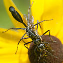 Mating Eremnophila aureonotata? - Eremnophila aureonotata - male - female