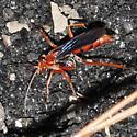 Pompilidae - Tachypompilus ferrugineus