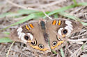 Unknown Butterfly - Junonia coenia
