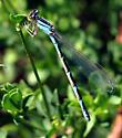 Enallagma annexum