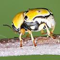 Leaf Beetle - Griburius larvatus