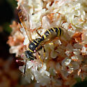 ID for another wasp? - Eucerceris provancheri
