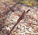 Mischievous Bird Grasshopper - Schistocerca damnifica - male