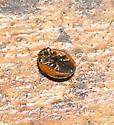 Lady Beetle - Exochomus