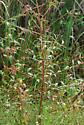 caterpillar - Eumorpha fasciatus