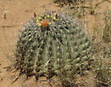 French Joe barrel cactus