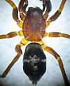 Small Ant Mimic - Micaria pulicaria - male
