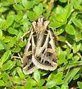 moth in thyme - Feltia jaculifera