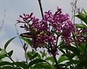 Hummingbird Moth but which one please - Proserpinus juanita