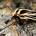 Unknown Moth - Apantesis parthenice