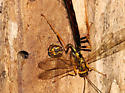 Giant Ichneumon - Megarhyssa atrata - male - female