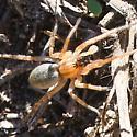ghost spider? - Hibana