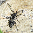Longhorned Beetle - Pogonocherus pictus