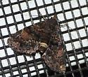 Moth ID help - Metalectra richardsi