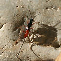 small black and red wasp - Pristaulacus - female