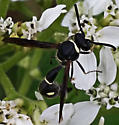 Potter Wasp - Eumenes fraternus