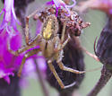 Spider on Ironweed - Neoscona arabesca