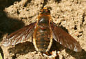 Bee Fly? - Poecilanthrax tegminipennis