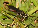 Spider Wasp? - Larra bicolor