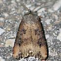 Ipsilon Dart - brownish - Agrotis ipsilon - male