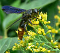 Blue-winged Wasp? - Scolia dubia