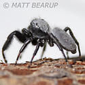 Gray Backed Jumper - Phidippus octopunctatus
