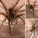 Wolf spider - Tigrosa helluo - male