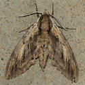 I'm thinking Elm Sphinix - Ceratomia amyntor