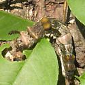Limenitis arthemis astyanax larva? - Limenitis arthemis