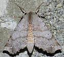 Olceclostera angelus - Olceclostera - female