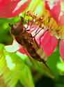 Syrphid Fly - Parasyrphus