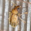 Leaf Beetle - Colaspis flavocostata
