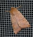 orange owlet moth - circles on wings - Sunira bicolorago