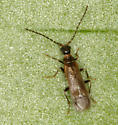 little beetle - Malthodes