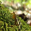 spring scorpionfly - Panorpa - male