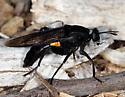 Mydas Fly - Mydas clavatus - female