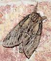 Moth - Hyperaeschra georgica