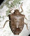 speckled legged stink bug - Euschistus tristigmus