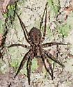 Unknown spider - Gladicosa pulchra